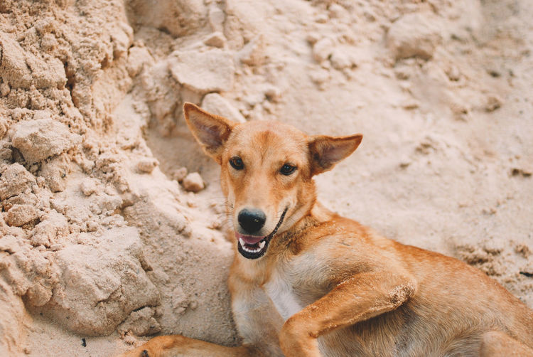 One Animal Dog Canine Mammal Domestic Animals Pets Domestic Vertebrate Portrait Looking At Camera No People Land Focus On Foreground Day Brown Nature Relaxation
