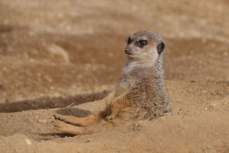 Close-up of meerkat resting on field