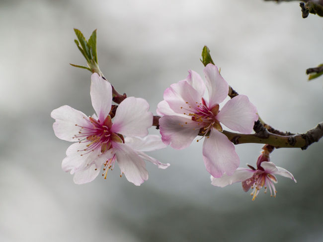 Agriculture Almond Tree Almond Tree In Blossom Copy Space EyeEm Best Shots EyeEmNewHere Backgrounds Beauty In Nature Blooming Blossom Botany Cherry Blossom Cherry Tree Close-up Color Day Delicacy Delicate Environment Floral Floral Frame Flower Flower Head Flowering Plant Flowerporn Fragility Freshness Fruit Tree Fruit Trees Growth Inflorescence Nature No People Orchard Outdoors Petal Pink Color Pink Flower Plant Plantation Pollen Spring Springtime Tree Vulnerability