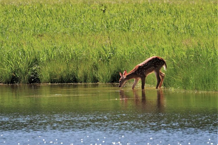 Deer Pond Animal Themes Animal Wildlife Animals In The Wild Beauty In Nature Day Deer Drinking Water Fawn Grass Lake Mammal Nature No People One Animal Outdoors Reflection Water