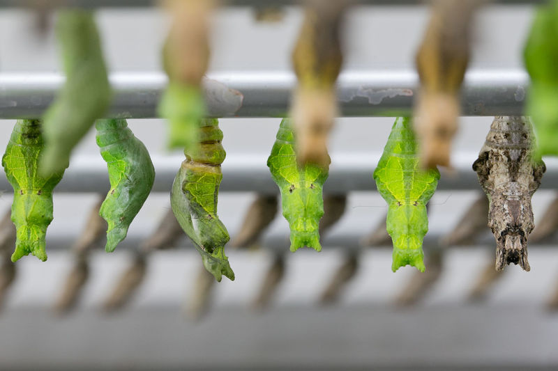 Close-up of green cocoons hanging on metal rod outdoors