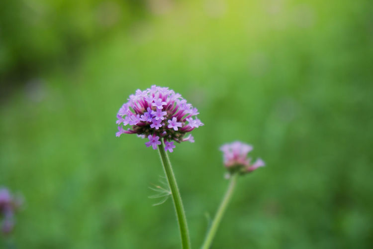 Flower Flowering Plant Plant Beauty In Nature Vulnerability  Fragility Freshness Growth Close-up Flower Head Inflorescence Petal Nature Focus On Foreground Plant Stem Day Pink Color No People Selective Focus Outdoors Purple