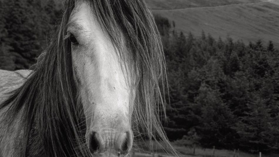 Horse Domestic Animals Animal Themes Mammal One Animal Field Focus On Foreground Outdoors Day Livestock Nature Tree Close-up No People Ireland Landscape Blackandwhite Horse Photography  First Eyeem Photo