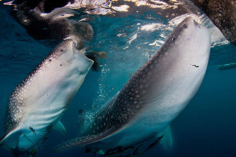 Close-up of whale sharks eating fish in sea