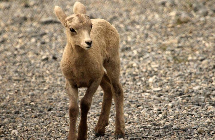 Showcase July Wildlife Photography Baby Animal Climbing A Mountain Alberta Canada