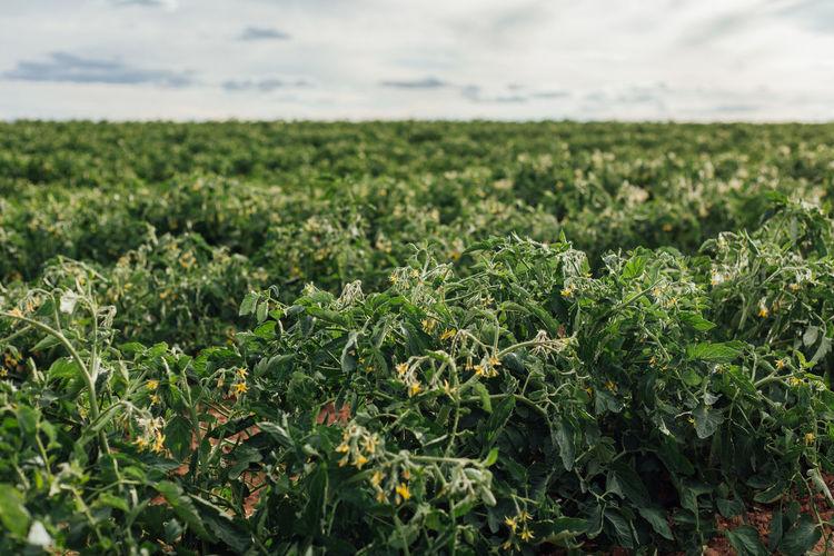 Tomatos growing on field