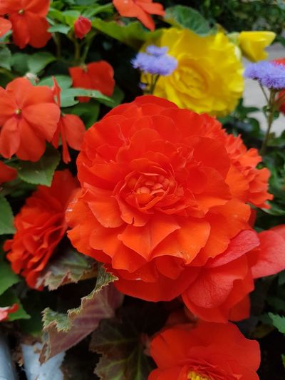 begonia.... Beauty In Nature Outdoors Outdoor Photography Garden Photography Red Color Red Begonia Flower Full Bloom Filled Flower Flower Head Flower Petal Close-up Plant In Bloom Plant Life