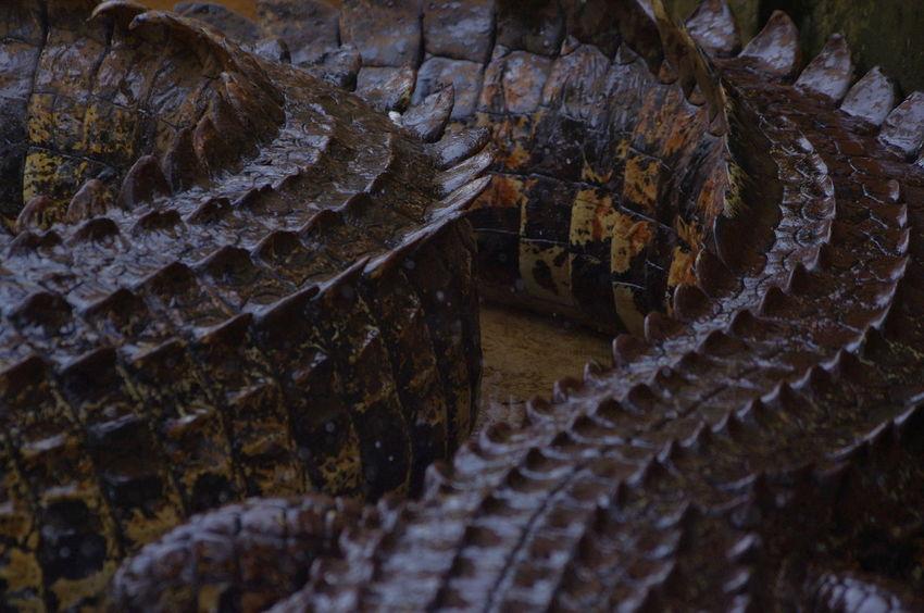 Mini Zoo Bintan Mini Zoo At Platform Mini Zoo Part Of Aligator Close-up Crocodile No People