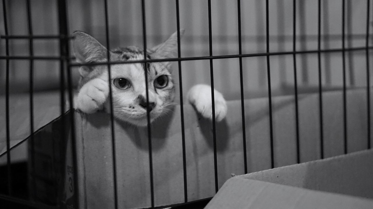 mammal, animal themes, pets, one animal, animal, domestic, domestic animals, cat, domestic cat, feline, cage, portrait, looking at camera, vertebrate, animals in captivity, indoors, no people, metal, trapped, close-up, whisker, animal head, animal eye