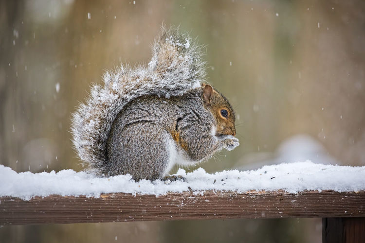 Squirrel on wood during winter