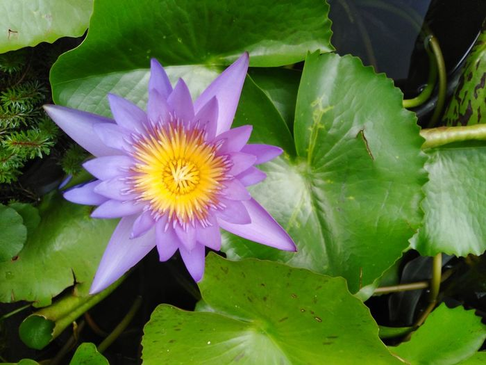 lotus in pond Flora Flower Blossom Leaves Leaf Green Plant Violet Purple Closeup Close Up Close-up Garden Park Nature Flower Head Flower Water Leaf Petal Water Lily Purple Floating On Water Close-up Plant Lotus Water Lily Lotus Pond Water Plant Blossom