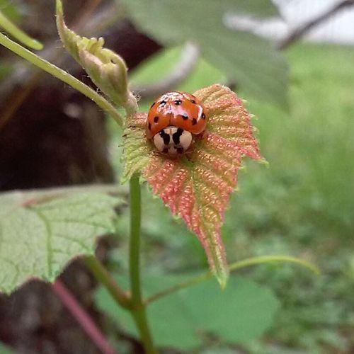 Ladybug Bug