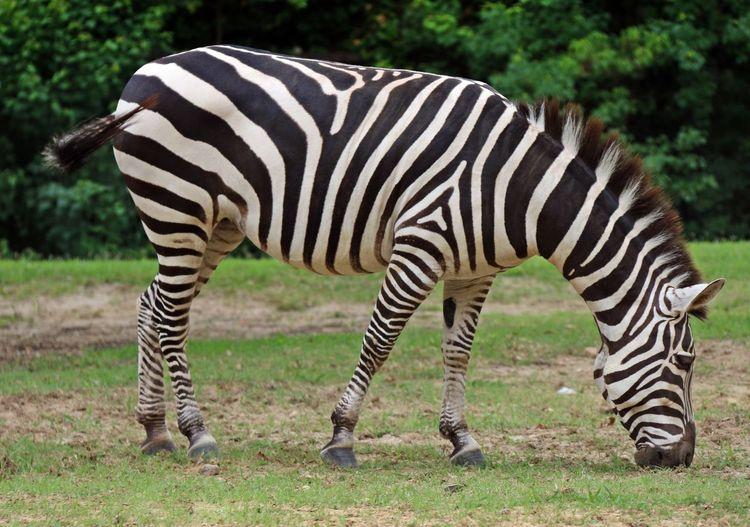 Zebra standing on grass