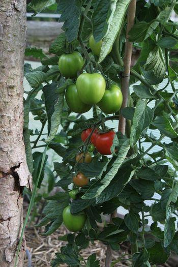 Eigene Ernte ... Tomaten Pflanzen Grüne Tomaten Green Tomatoes Tomatoes