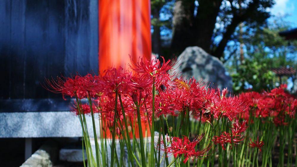 風車 Flowerporn Spiderlily Red M.zuiko Photowalk Streamzoofamily