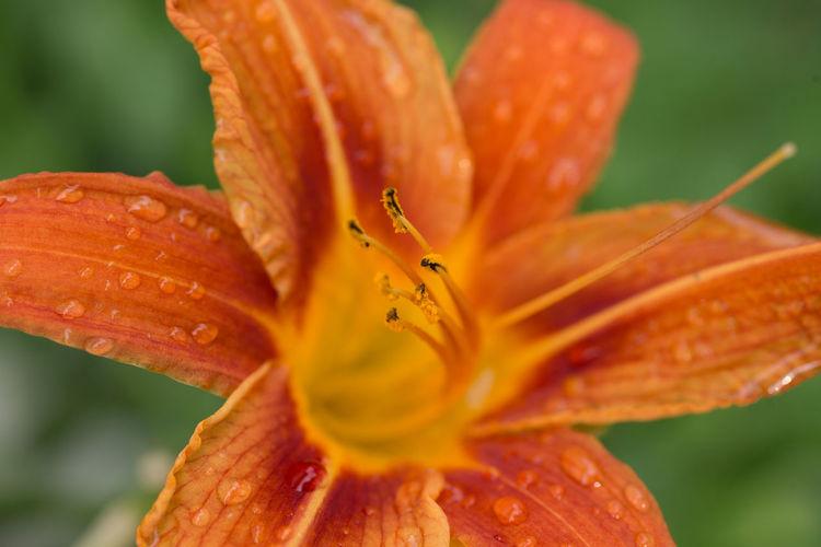 Daylily Beauty