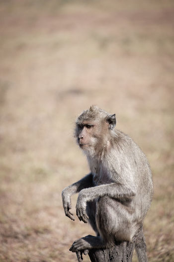 Adult monkey in the baluran national park Animal Family Animal Wildlife Animals In The Wild Baboon Care Day Focus On Foreground Land Looking Looking Away Mammal Nature One Animal Outdoors People Primate Sitting Vertebrate Young Animal