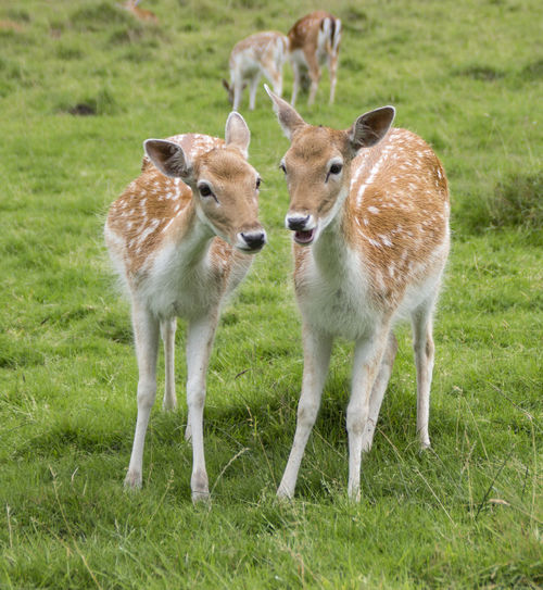 Grass Animals In The Wild Animal Wildlife Mammal Day Outdoors Togetherness Nature No People Full Length Animal Themes Cheetah Dears Dear Deers Deers Nature Beauty Peace