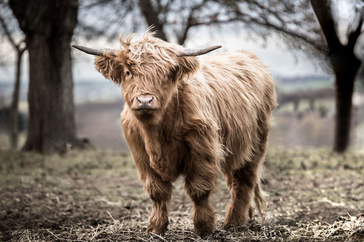 Highland Cattle Animal Domestic Animals Pets Cow Highlands Field Horned Cattle Land Animal Themes Mammal