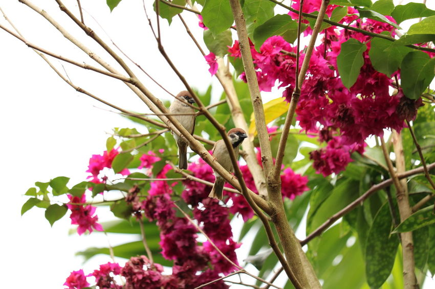 sparrows EyeEmNewHere Bird EyeEm Best Shots EyeEm Nature Lover Flower Nature Pink Color Growth Leaf Beauty In Nature Fragility Outdoors Tree Close-up