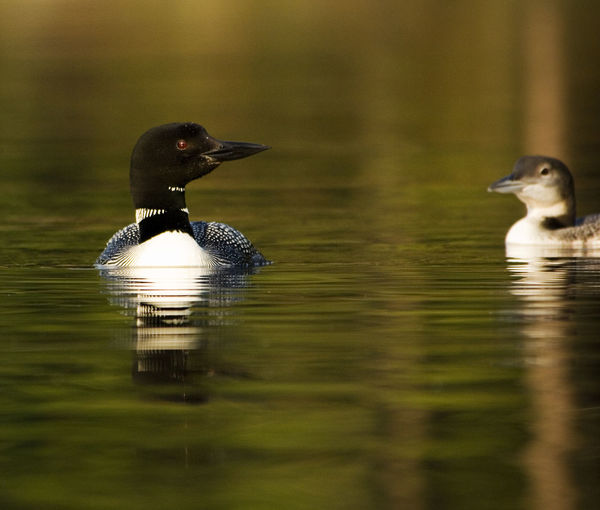 Close-up of loons swimming on lake
