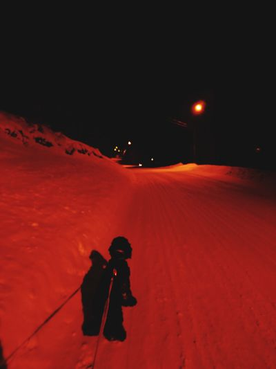 Walk Winter Night Cold Temperature Snow Härjedalen American Cocker Spaniel Dog Bella Walking With My Dog