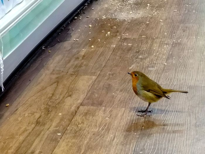 robin inside the shop Shadows Wooden Floor Retail Shop Holiday Season Bird Food Robin Scavenging Bird Perching Animal Themes Close-up A New Perspective On Life
