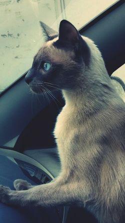 Cats Cat Cat♡ Siamesecat Siamesecats Siamese Kitty Kitten Pet Tango