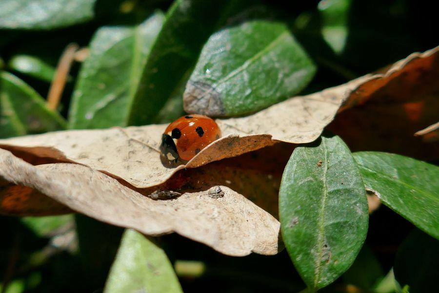 Ladybug. Check This Out Ladybug Red Nature Insect Macro Close-up Spring Springtime 2016 Urban Spring Fever Urban Nature Lumixlounge Panasonic Lumix ZS100 Showcase April