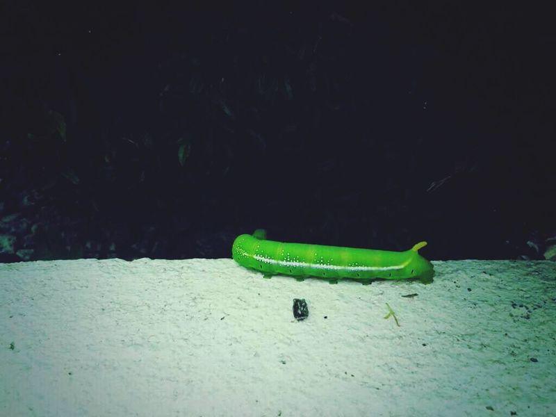 Being A Caterpillar Green Caterpillar Caterpillar