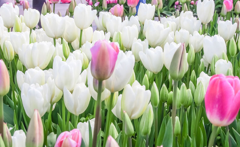Beautiful Flower Beautiful Nature Beauty In Nature Blooming Close-up Flower Head Flowers Freshness Group Of Tulips Nature Petal Pink Tulips Tulip Flowers Tulips White Flowers White Tulips