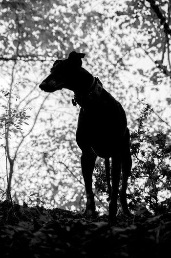Ilovemydog Animals Black & White Monochrome Galgo Galgos Galgoespañol Sosgalgos Planoles