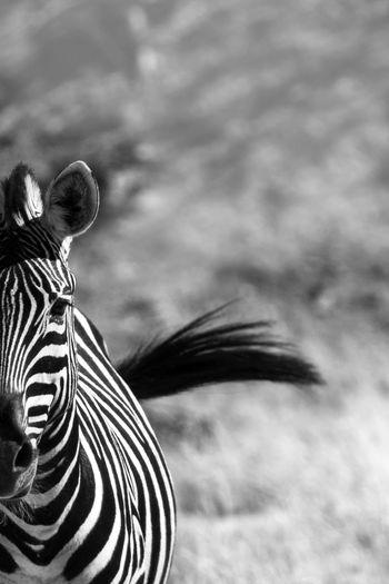 Swoosh! Zebra