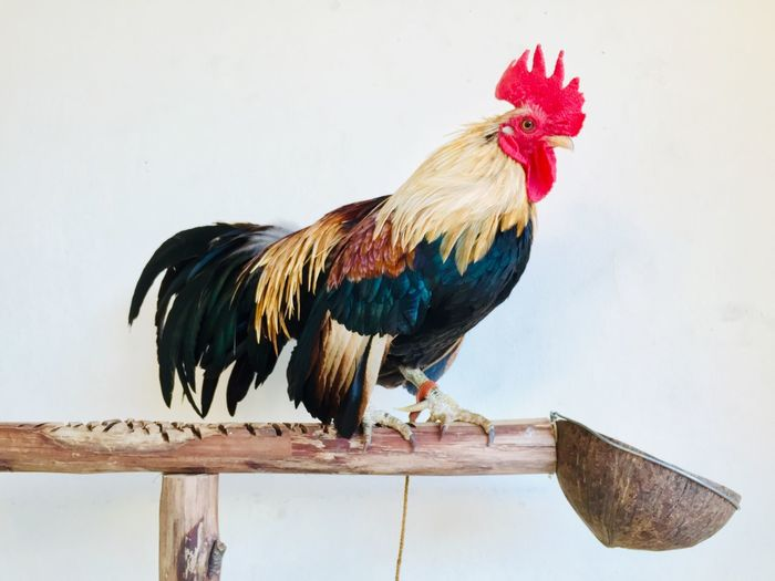 Side view of a rooster