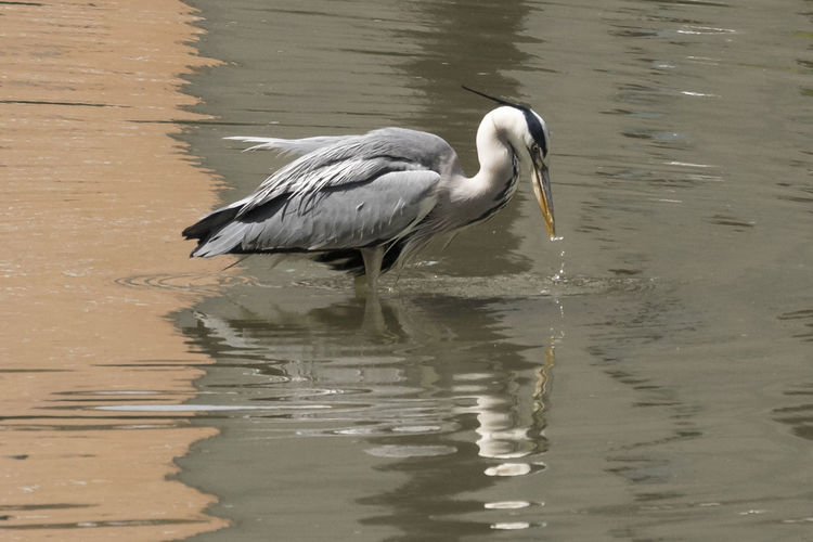 Heron Rippled
