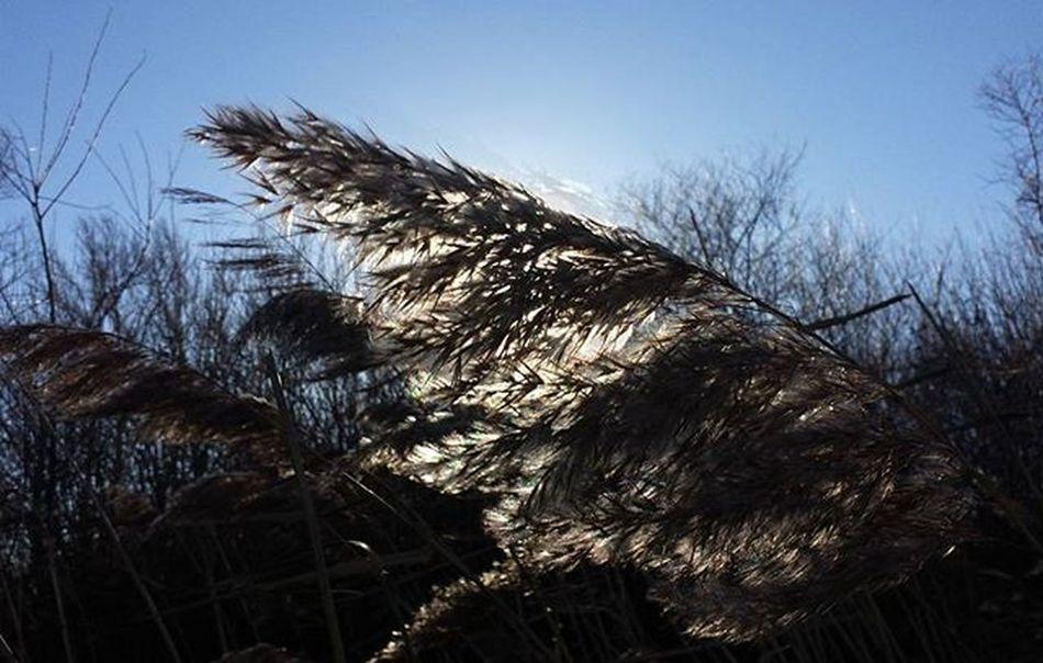 Nad Növény Plant Reed Napfeny Nap Sunlight Sun Természetfotók Természetfoto Természet Naturelovers Naturephotos Nature Naturephotography Instanature Hungary Instahun Instahungary Magyarfoto Magyarfotósok Nofilter Noedit