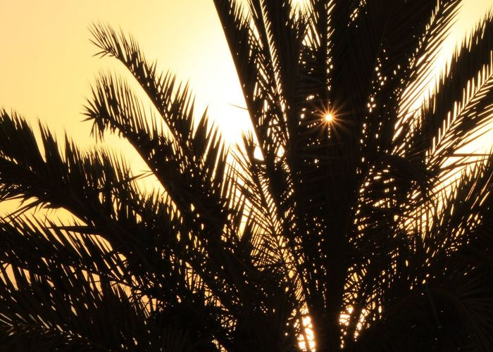 Perfect, small circle of sunrays peeking through palm trees during the sunrise at the Dead Sea, Israel. Desert Sunrays Beauty In Nature Beauty In Nature Clear Sky Close-up Dead Sea  Growth Illuminated Israel Low Angle View Nature No People Oasis Outdoors Palm Tree Perfect Scenics Sky Sunlight Glow Sunrise Sunset Through The Leaves Tree Yellow Sky Perspectives On Nature Perspectives On Nature