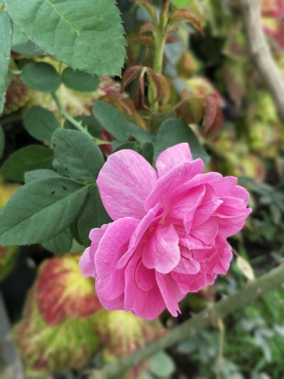 Flower Nature Plant Pink Color Growth Beauty In Nature No People