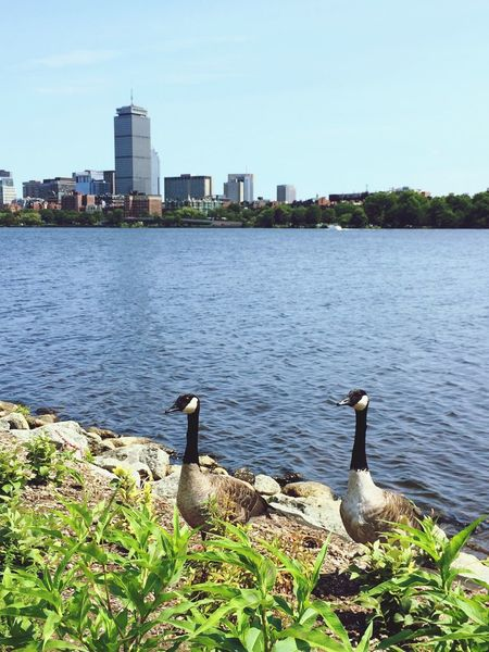 Built Structure Skyscraper Animals Posing Geese Animals In Cities Bird Water Outdoors City Boston No People Waterfront Cityscape Urban Animals