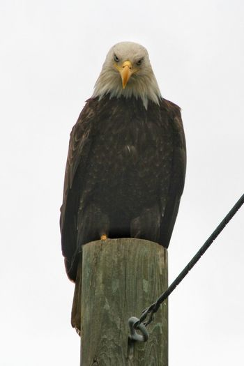 Low Angle View Of Bald Eagle Perching On Wooden Post Against Clear Sky