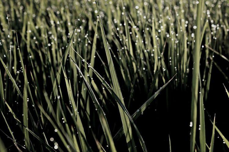 夜明けのホタル Water Droplets