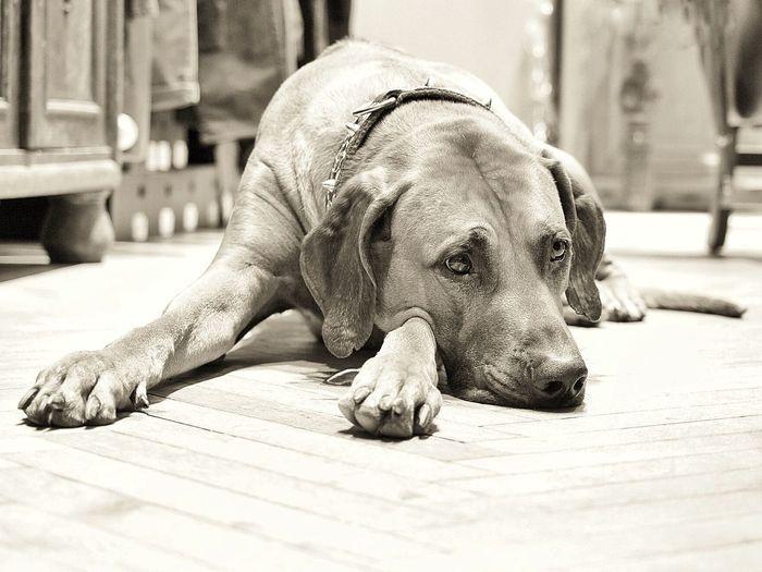 Rhodesian Ridgeback One Animal Relaxation Vertebrate Dog Canine Lying Down Mammal No People Pets Sunlight