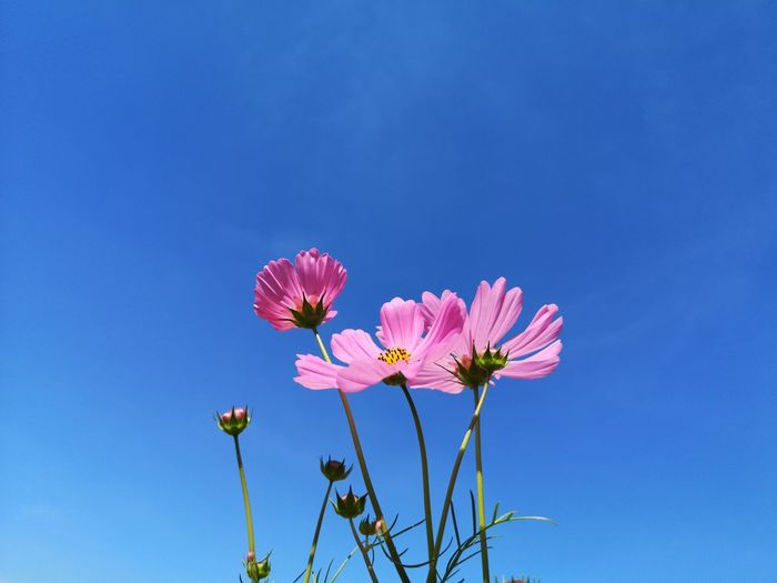 Low angle view of pink cosmos flower against blue sky