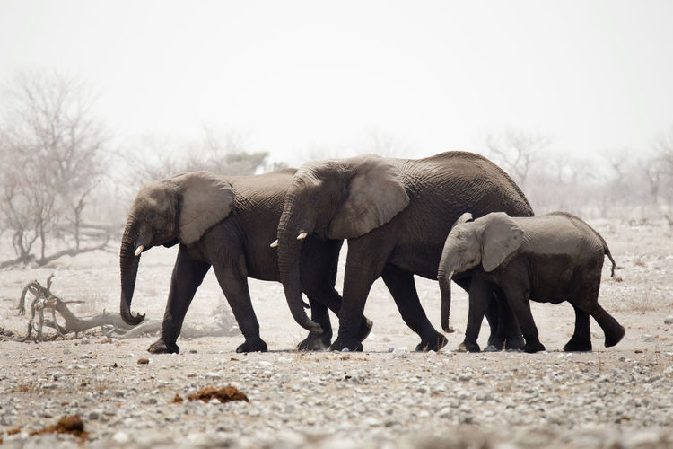 Elephants on landscape against clear sky