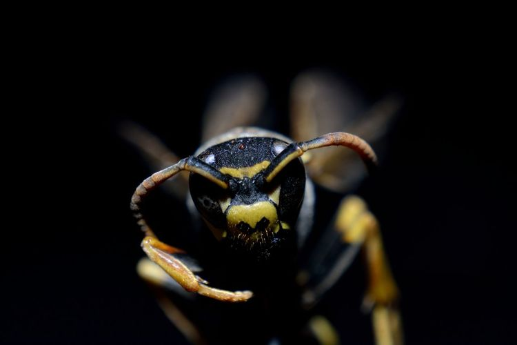 The Wasp Animal Animal Body Part Animal Eye Animal Head  Animal Themes Animal Wildlife Animals In The Wild Black Background Close-up Crab Focus On Foreground Insect Invertebrate Marine Nature No People One Animal Outdoors Sea Selective Focus Studio Shot Zoology