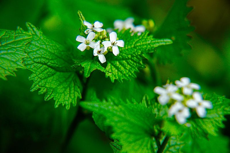 Garlic Mustard Alliaria Petiolata Edible Wild Plant Botany Plant Flower Flowering Plant Plant Part Beauty In Nature Leaf Green Color Close-up Nature Freshness No People Growth White Color Fragility Selective Focus Vulnerability  Outdoors Day Food And Drink Focus On Foreground