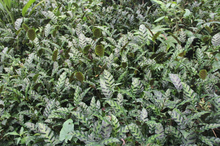 Calathea zebrina Velvety patterned, light green color with darker green stripes Calathea Zebrina Beauty In Nature Calathea Freshness Green Color Growth Land Leaf Nature Outdoors Plant Plant Part