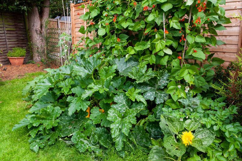 Ivy growing in yard