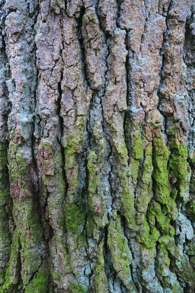 oark bark with moss. full frame natural background Mossy Mossy Oaks Background Photography Oak Bark Moss & Lichen Bark Texture Textures In Nature Oaks Oaktree Natural Backgroud Texture Textured  Moss Bark