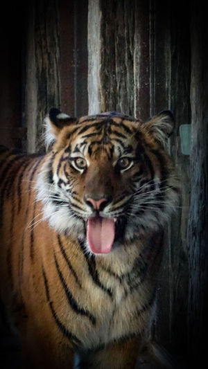 My Point Of View EyeEm Nature Lover Tiger Face Tigers❤ One Animal Animal Themes Tiger Animals In The Wild Mammal No People Animal Wildlife Sticking Out Tongue Close-up Day Outdoors Nature